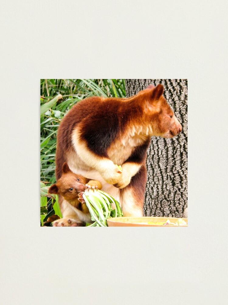 """Feeding Joey - Tree Kangaroo"" Photographic Print by ..."