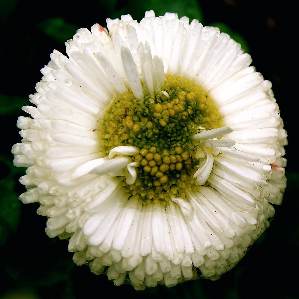 white  by anisja