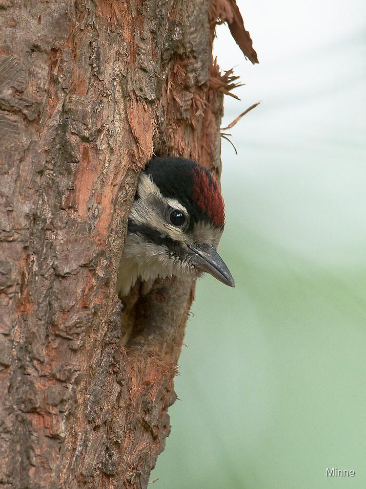 Great spotted woodpecker by Minne