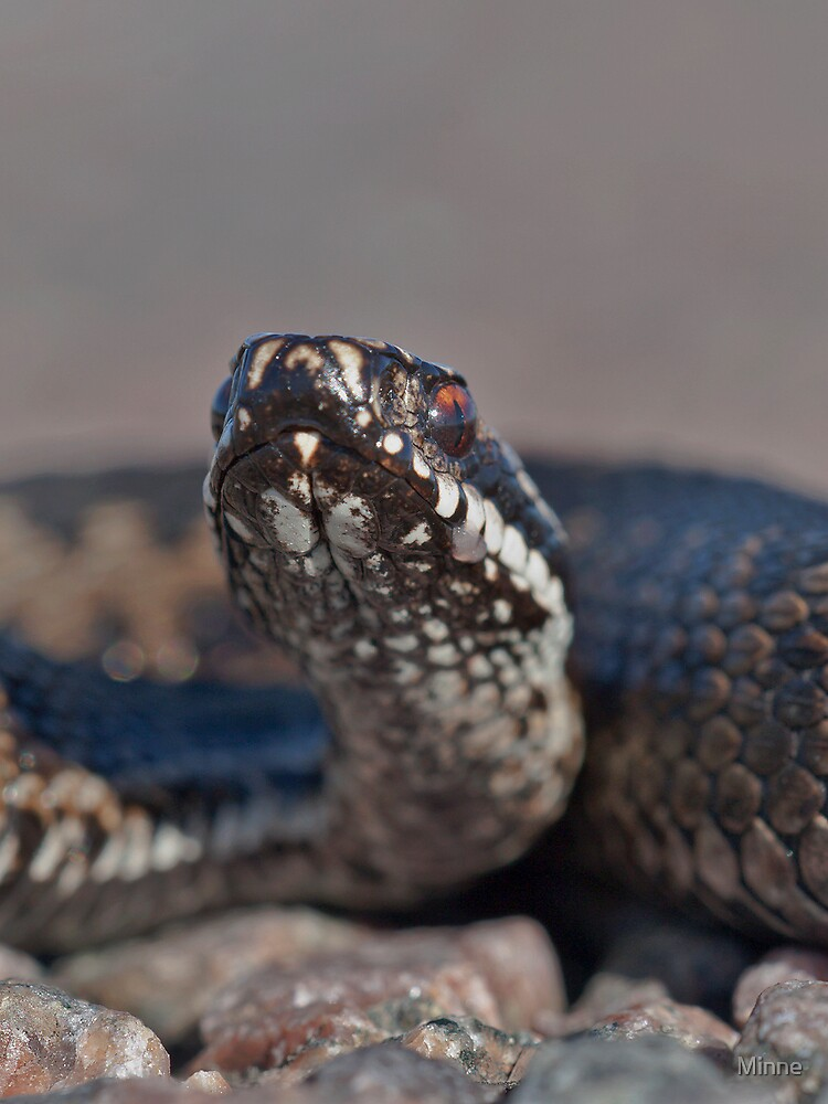 Common Viper by Minne