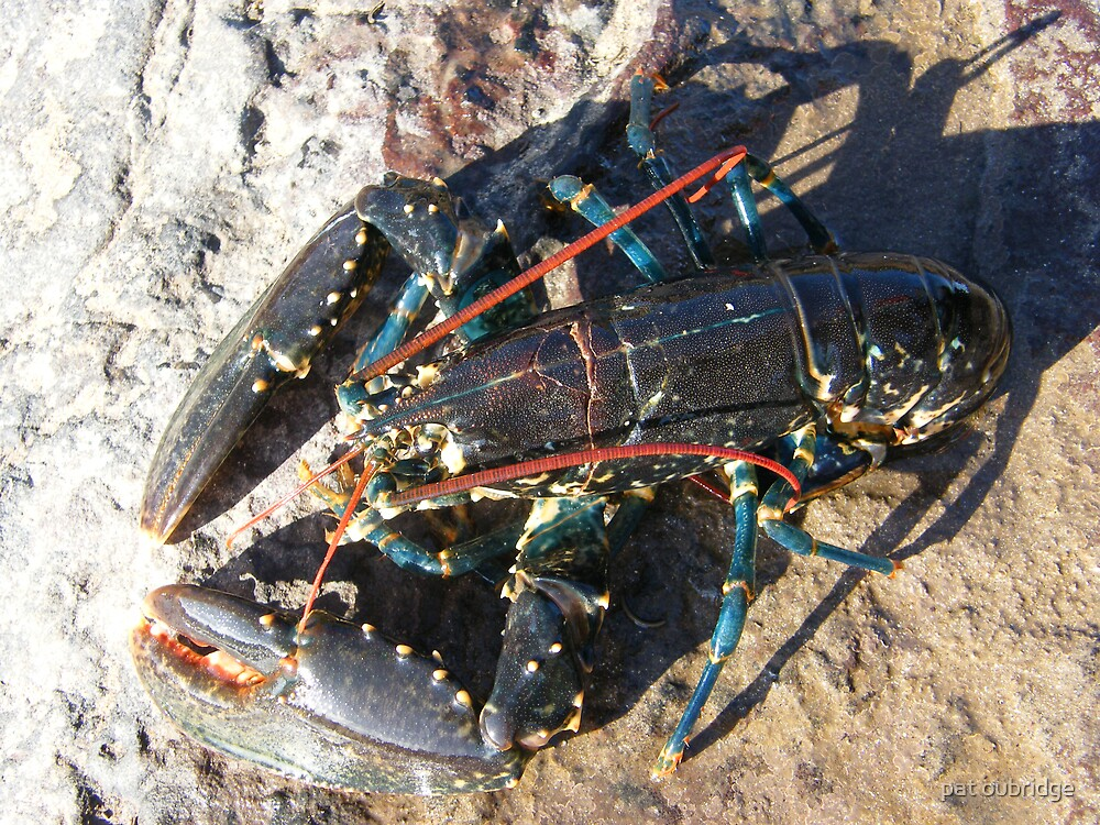 Live Lobster by pat oubridge