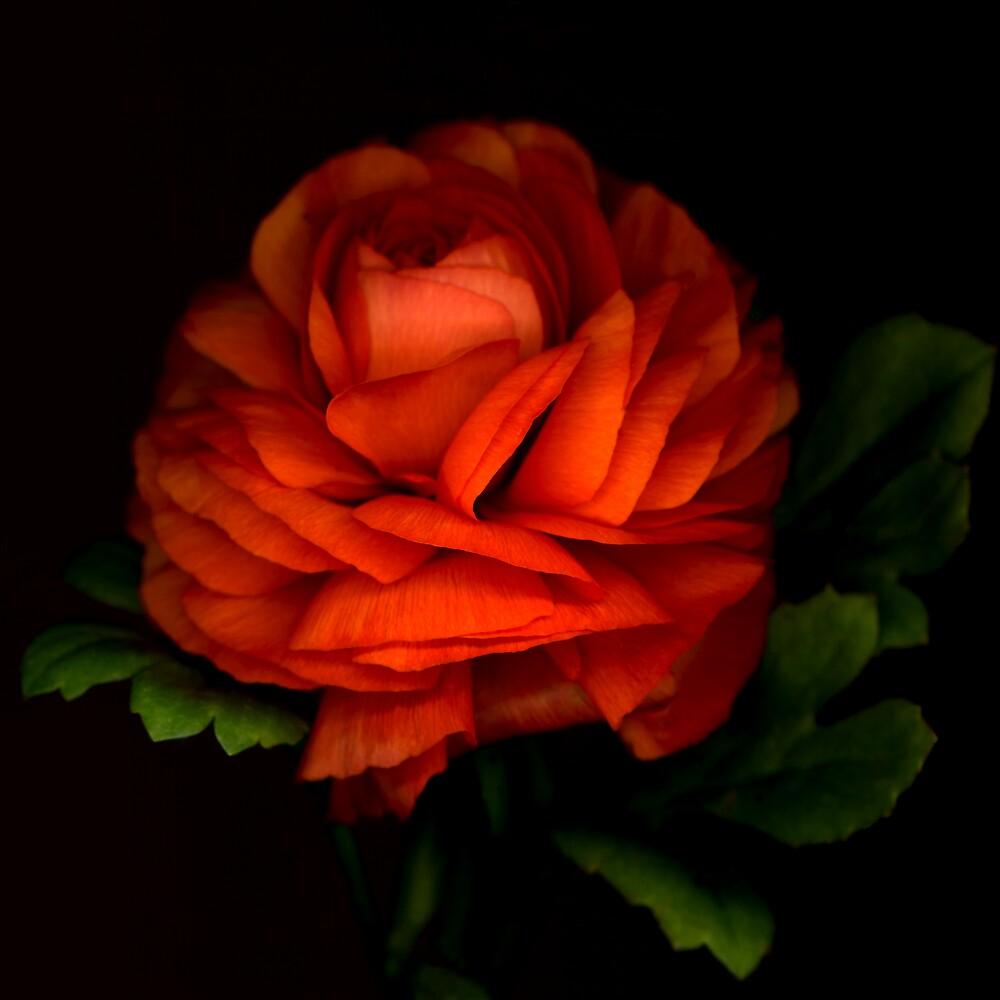 Orange Ranunculus by Marsha Tudor