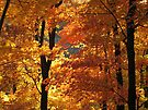 Flaming Autumn Forest by NatureGreeting Cards ©ccwri