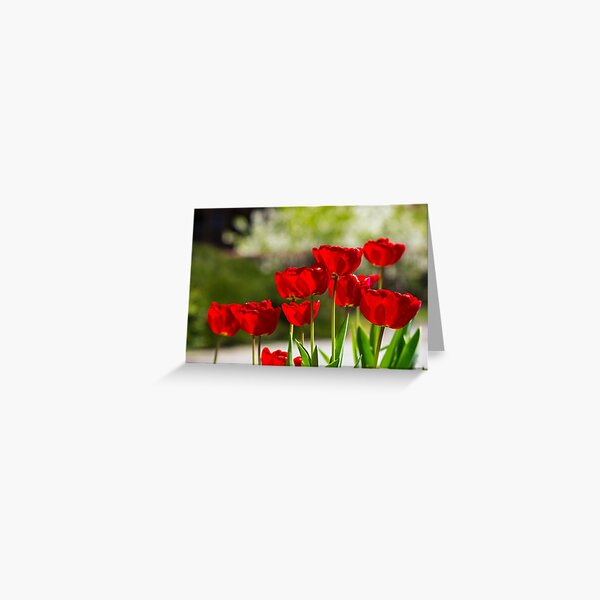 red tulips on color blurred background  Greeting Card