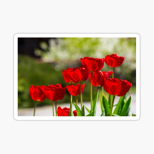 red tulips on color blurred background  Sticker