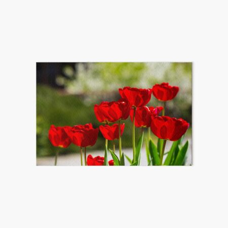 red tulips on color blurred background  Art Board Print
