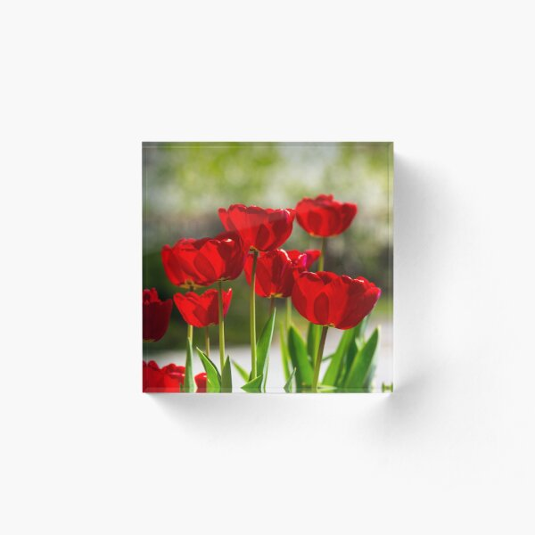 red tulips on color blurred background  Acrylic Block