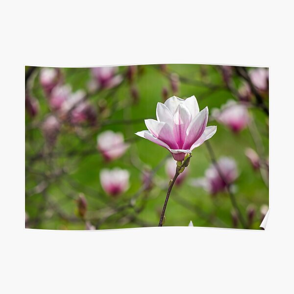 magnolia flower on a blurry background Poster