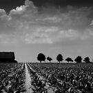 Kentucky Tobacco Field by Miko Coffey