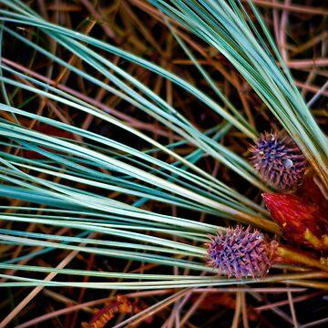 pine cones by Maggierda