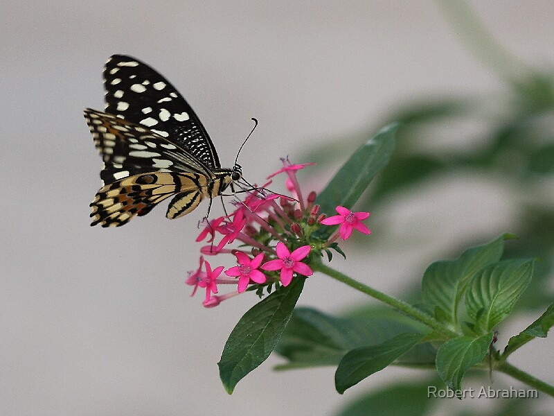 Citruspage Butterfly by Robert Abraham