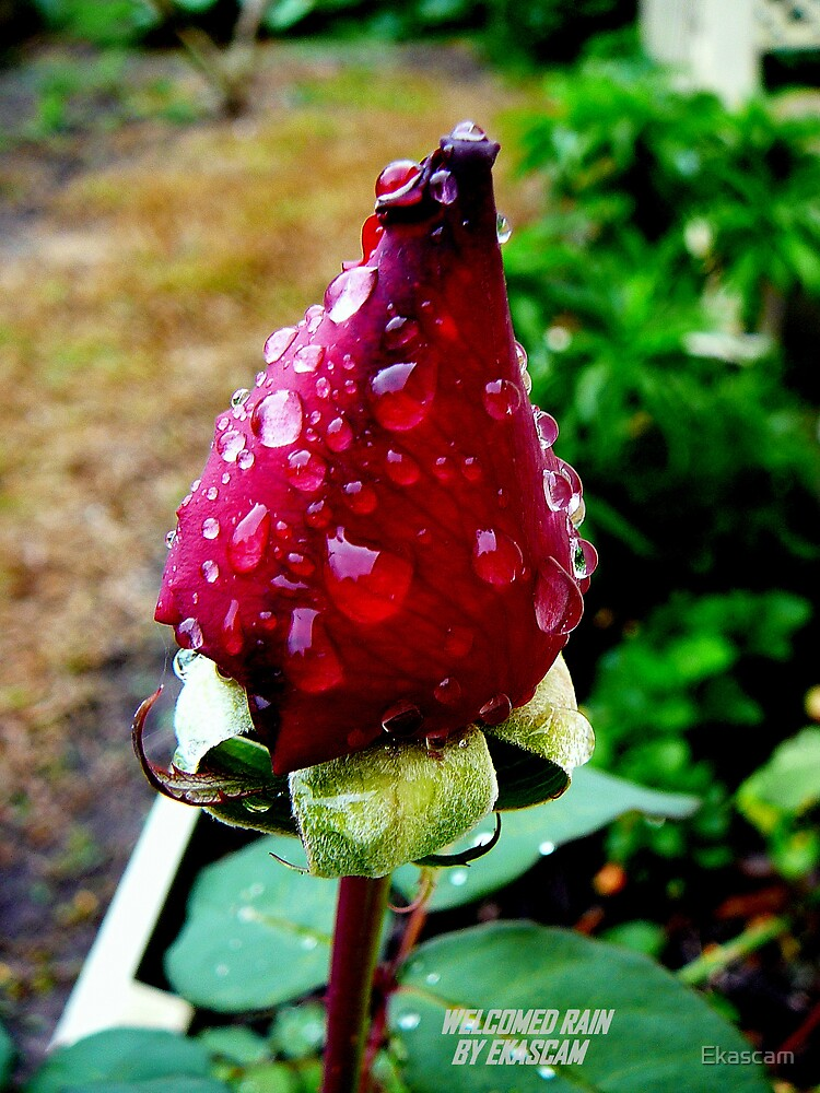 ROSEBUD IN THE RAIN by Ekascam