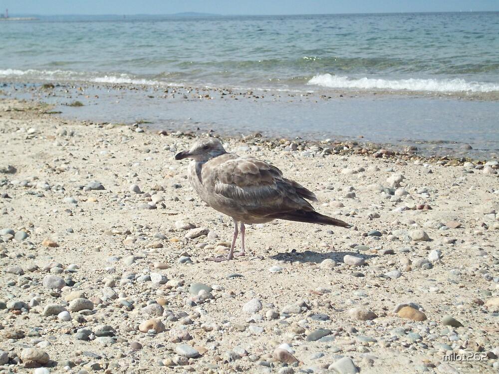 Sea gull by milo1262