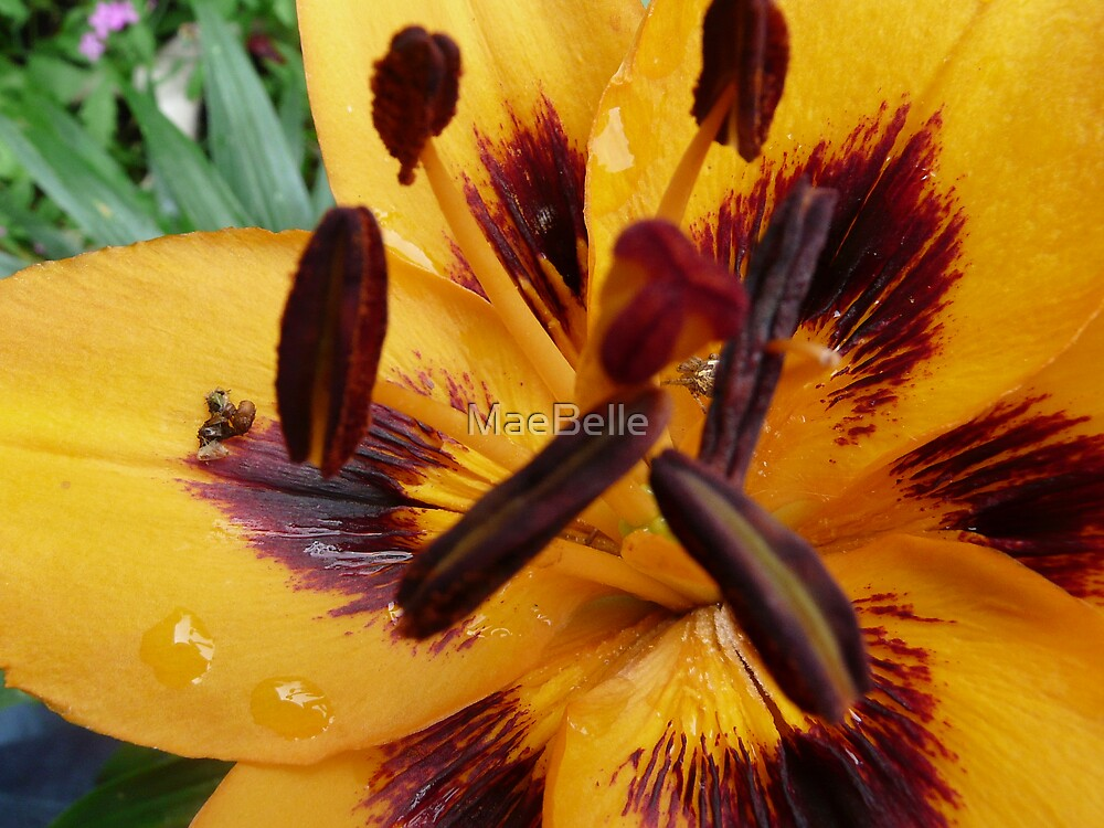 Macro,Tiger Lily by MaeBelle