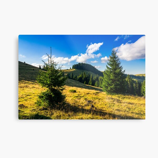 conifer forest  in mountains at sunrise Metal Print