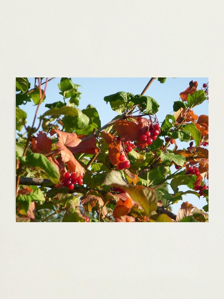Alternate view of Berries Photographic Print
