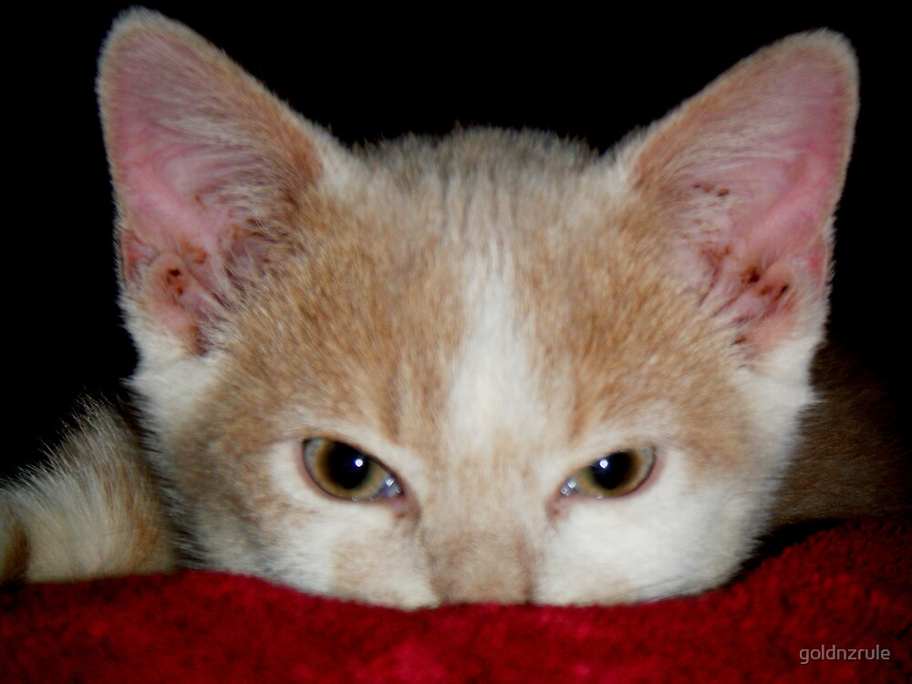 Wild Bill Hickock Kitten claiming a comfy spot by goldnzrule