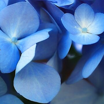 -Endless Summer (Blue Hydrangea) by rural-guy