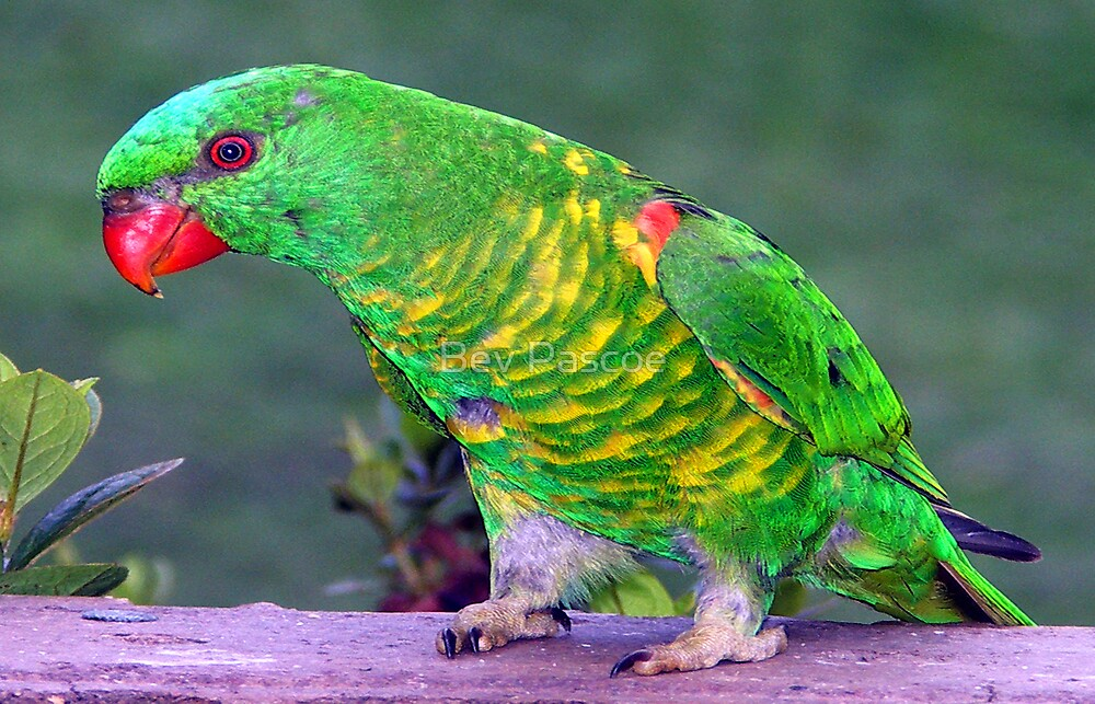 Scaly Breasted Lorikeet, Gippsland Australia by Bev Pascoe