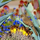 Curved Billed Thrasher by K D Graves Photography