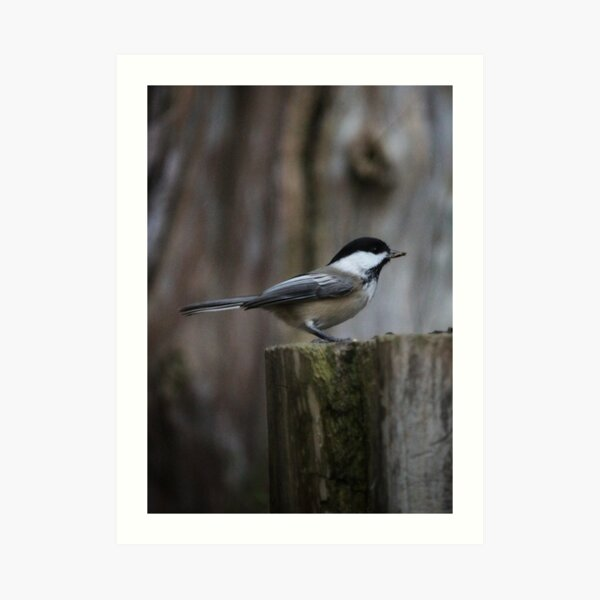 Chickadee pose Art Print