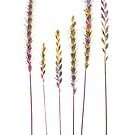 Colorful Grasses  by Sandra Foster
