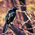 Grackle In The Forest by Shawna Rowe
