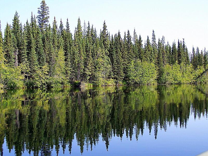 Alaskan Pine by Joci Solano