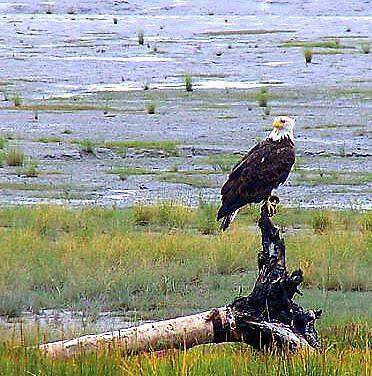 Perched Eagle by Joci Solano