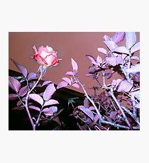 pink rose, mauve sky 11/11/17 Photographic Print