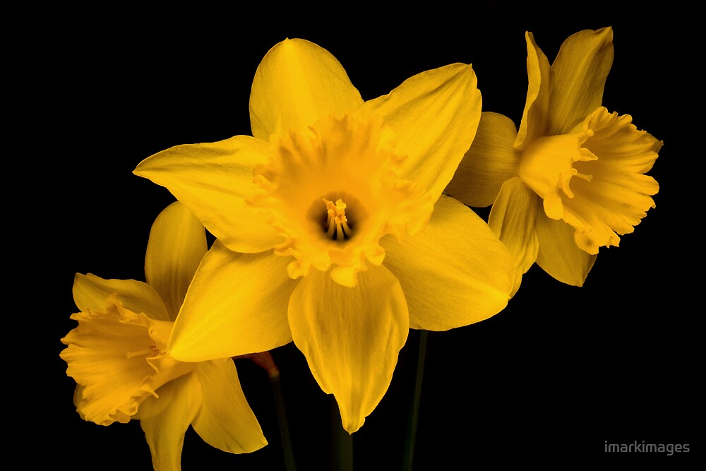 Daffodils by imarkimages