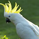 Sulphur Crested Cockatoo by Bev Pascoe