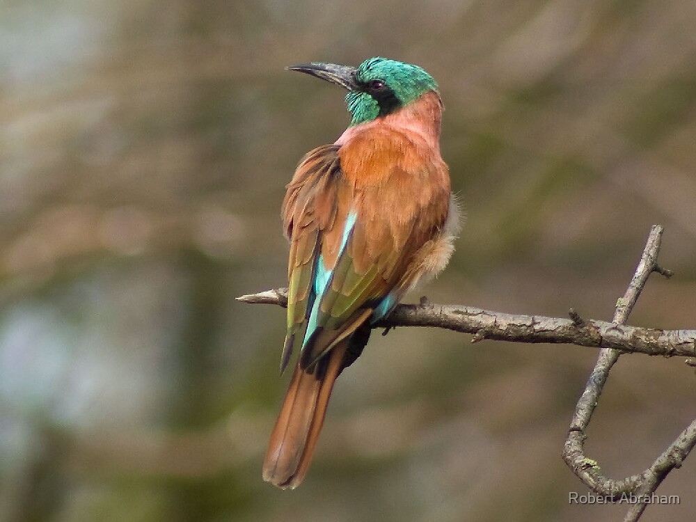 Northern Carmine Bee-Eater by Robert Abraham