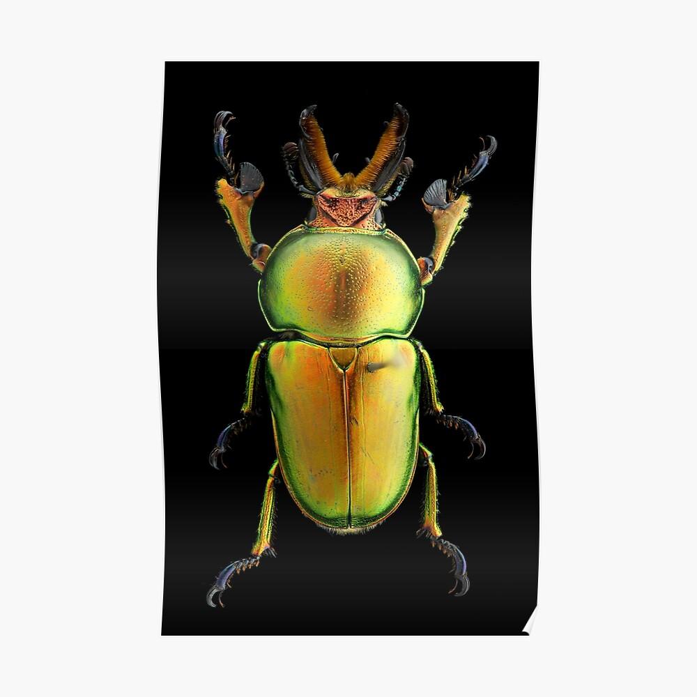 Männlicher goldener grüner Hirsch-Käfer (Lamprima latreillii) Poster