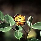 Fire Rose by ~ Butterfly ~