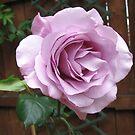 Eine Rose so süß von BlueMoonRose