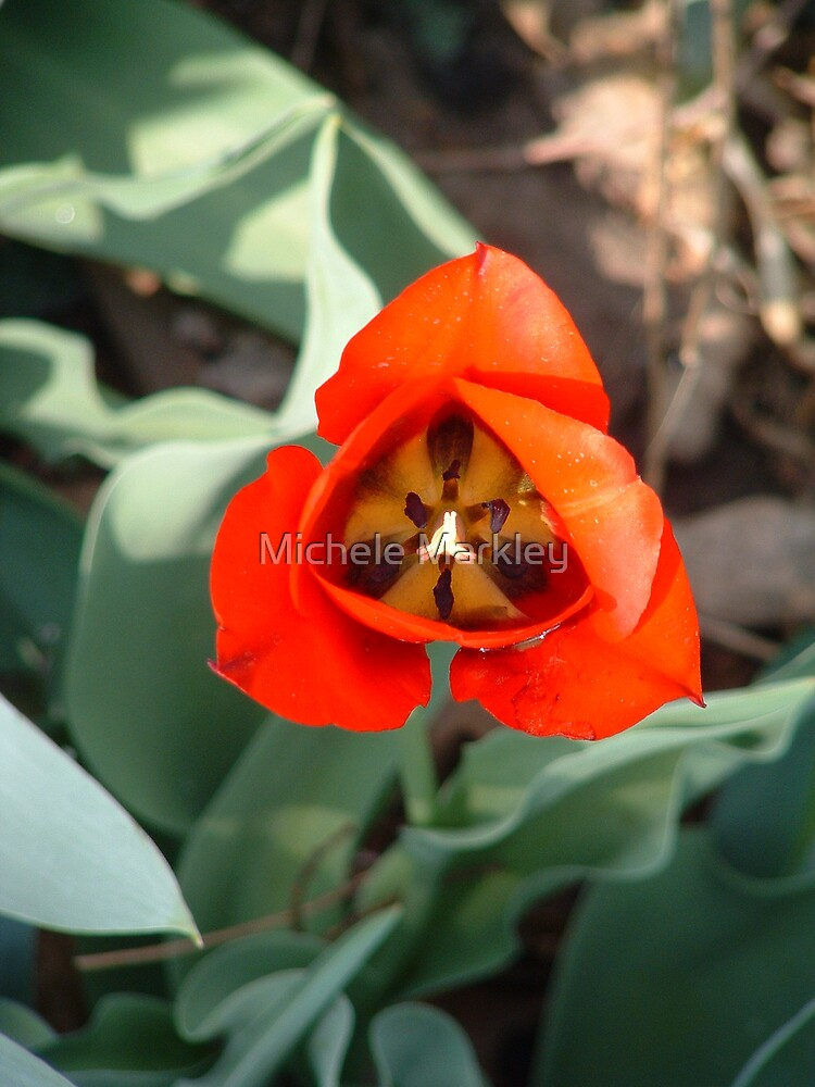Red Tulip by Michele Markley