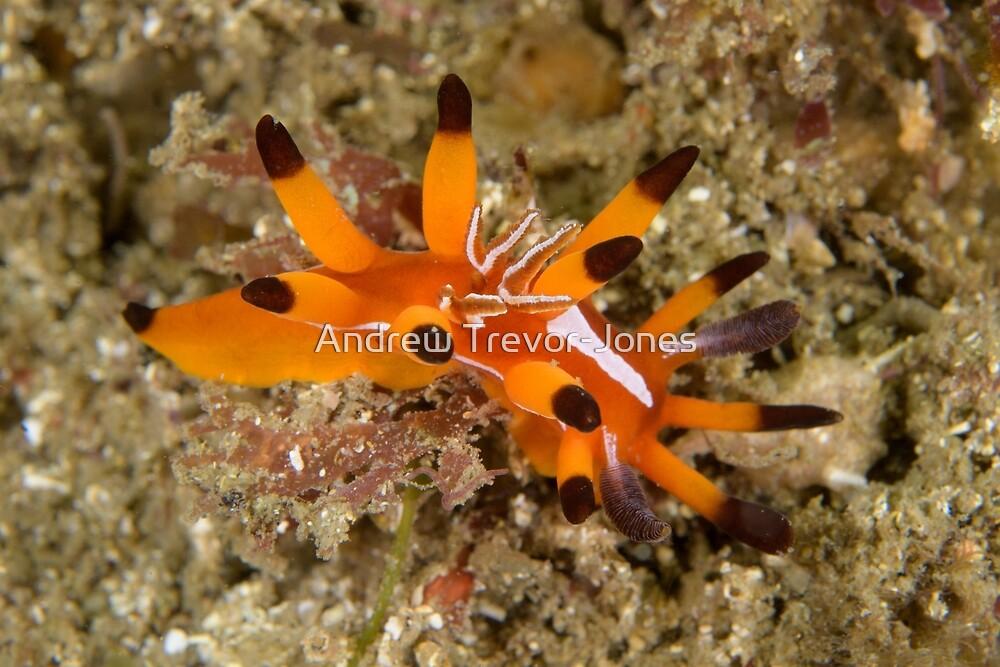 Nudibranch - Okenia mellita by Andrew Trevor-Jones