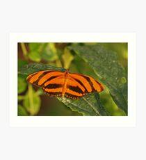 Banded Orange Heliconia Art Print