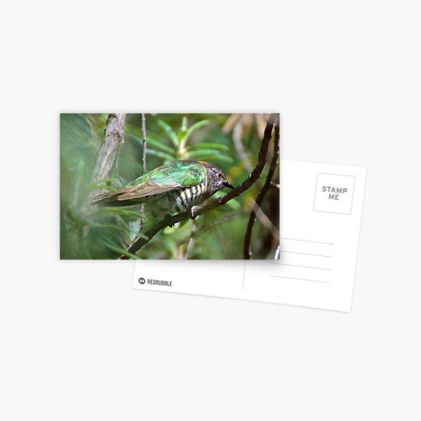 CUCKOO ~ Shining Bronze-Cuckoo SCMPTCJJ by David Irwin ~ WO Postcard