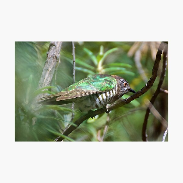 CUCKOO ~ Shining Bronze-Cuckoo by David Irwin ~ WO Photographic Print