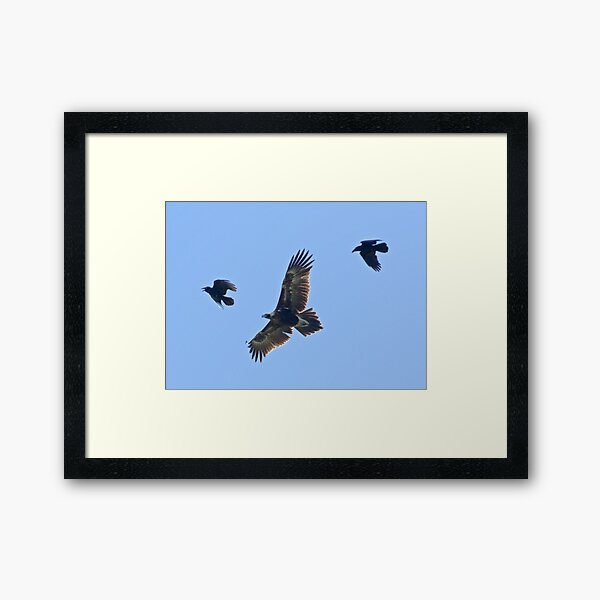 RAPTOR ~ Wedge-tailed Eagle and Forest Raven by David Irwin Framed Art Print