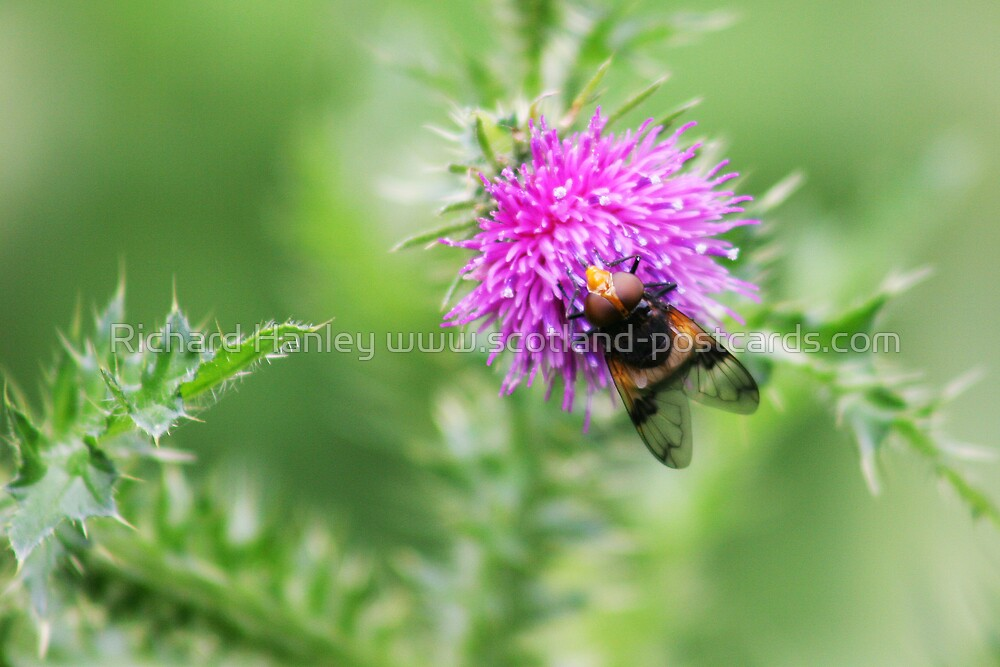 Thistle Fly by Richard Hanley www.scotland-postcards.com