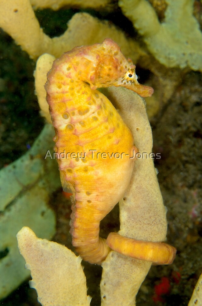 Male Pot-bellied Seahorse - Hippocampus abdominalis by Andrew Trevor-Jones