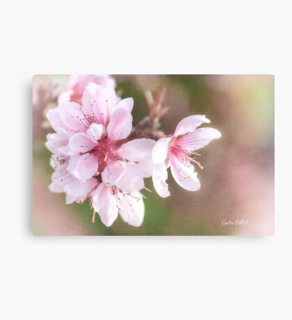 Peach Blossom Peace Canvas Print