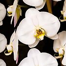 Orchids by louise
