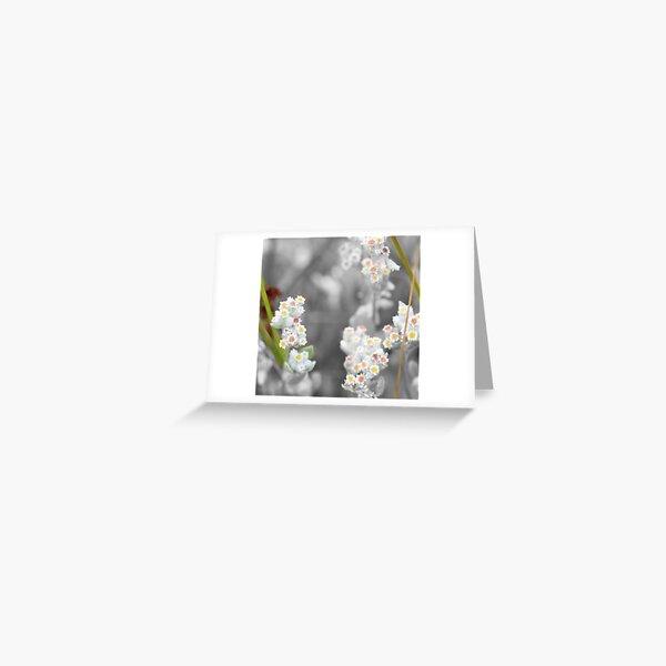 Jersey Cudweed Greeting Card