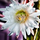 Cactus bloom. by JRScalzo