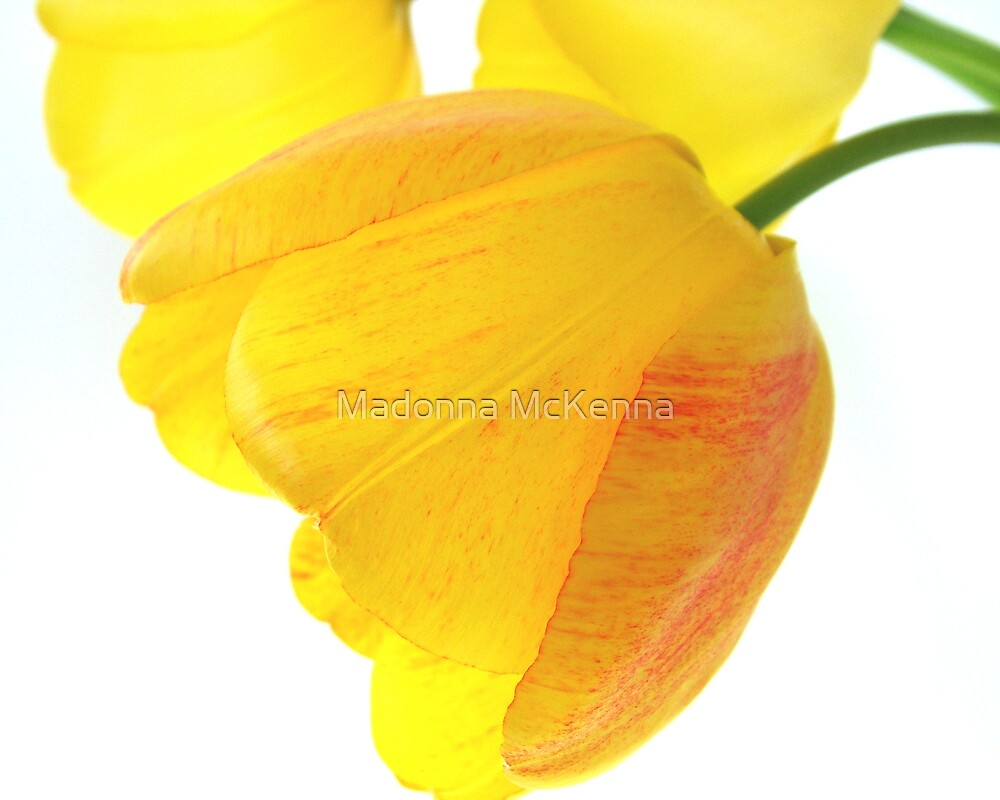 Tulip by Madonna McKenna