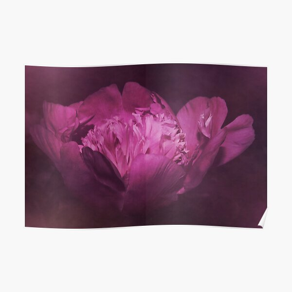 Pfingstrose violett Poster